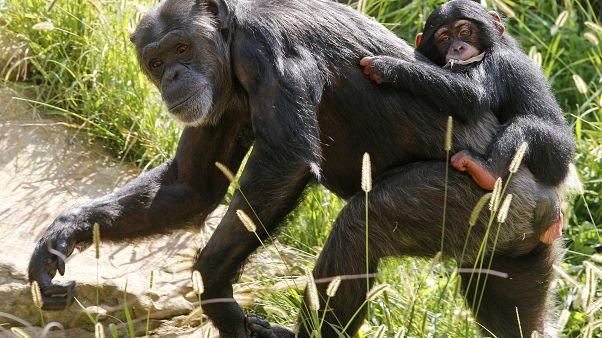 Des chimpanzés comme ceux-ci sont morts dans l'incendie du zoo de Krefeld