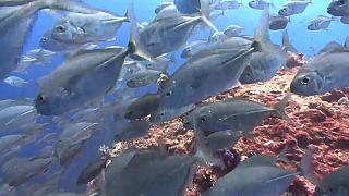 لقطة من الحياة البحرية في إحدى الشعاب المرجانية لجزر بالاو.