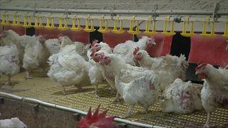Внимание, птичий грипп!