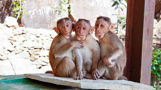 In den meisten Zoos weltweit werden Affen gehalten. Wie tiergerecht ist das?