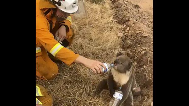 Tűzoltó ment koalát
