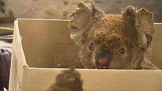 Incendi in Australia: lotta contro il tempo per salvare i koala