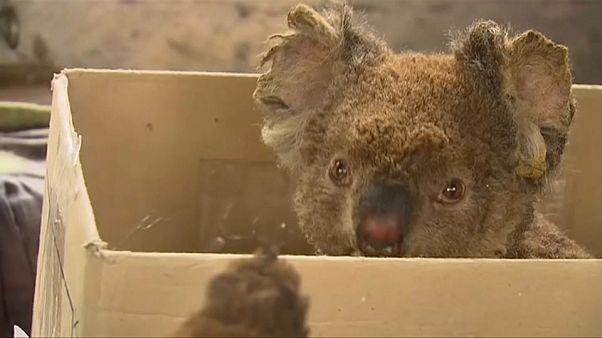 Salvar os coalas da Austrália