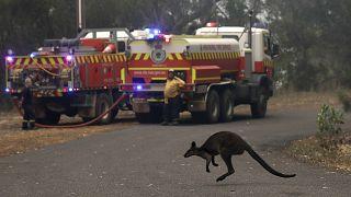 گریز کانگروها از حریق فصلی در استرالیا