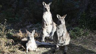 Isla de los Canguros, el paraíso australiano calcinado por las llamas
