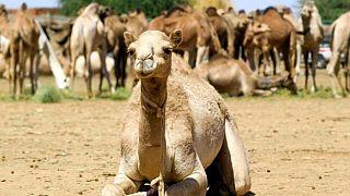 Avustralya'da kuraklık sebebiyle 10 bin deve keskin nişancılar tarafından öldürülecek