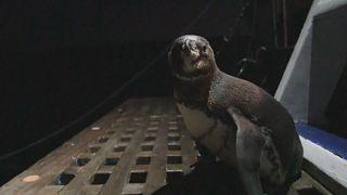 Pinguin-Seniorin (17) gibt neue Hoffnung auf Galapagos