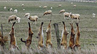 2011'de Avustralya'nın Victoria Eyaleti'nde yarım milyon tilki itlaf edildi