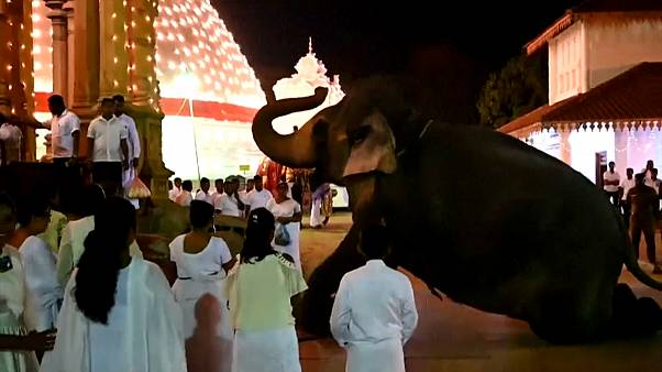 شاهد: الفيلة تتصدر المهرجان البوذي في سريلانكا