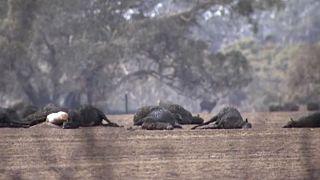 Η καταστροφή των πυρκαγιών. Νεκρά ζώα στην Αυστραλία.