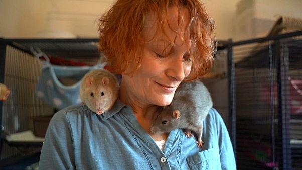 Besser als ihr Image: Die Ratte, das Liebesgeschöpf