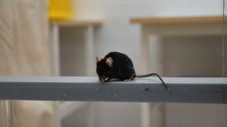 Hoffnung auf Heilung: Alzheimer-Mäuse im Forschungslabyrinth