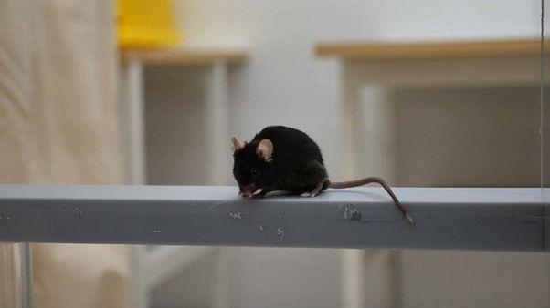 «Ποντίκια Αλτσχάιμερ»: Ελπίδες για θεραπεία της νόσου
