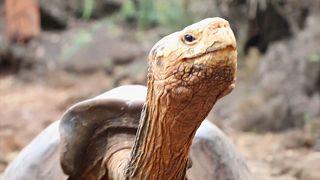 Üreme programı kapsamında türünü kurtaran dev kaplumbağa Diego 'emekliye ayrıldı'