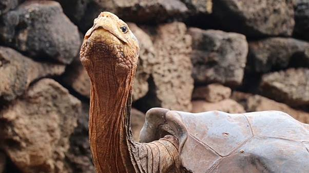Diego, una tortuga centenaria con una líbido prodigiosa que salvó a su especie