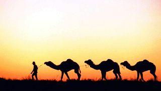 Avustralya'daki yabani develer
