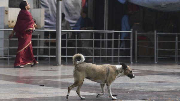 Hindistan genelinde yaklaşık 30 milyon sokak köpeği bulunuyor