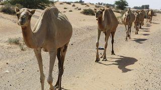 Αυστραλία: Οι αρχές θανάτωσαν 5.000 καμήλες
