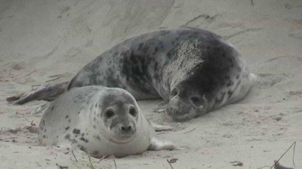 Niedlich, aber gefährlich: Robbenwurfsaison auf Helgoland
