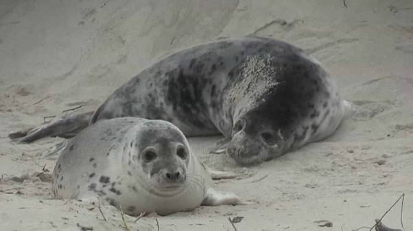 Helgoland, l'isola scelta dalla foche per crescere i loro cuccioli