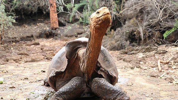 بازنشستگی دیگو، لاکپشتی که طی نیم قرن ۸۰۰ بار پدر شد