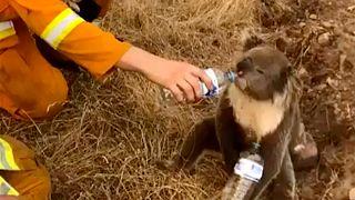 Avustralya'daki koalalar Yeni Zelanda'ya gönderilsin kampanyası