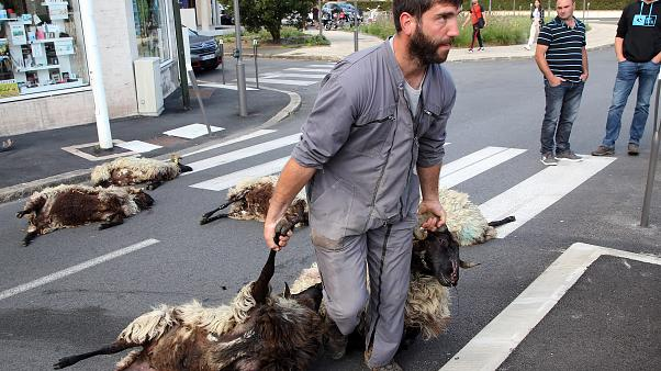 In this Sept.2, 2019 file photo, shepherd Romain Jaurigueberry brings dead sheep to sub-prefecture of Bayonne, southwestern France, to protests against the rising bear attacks
