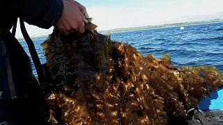 Could seaweed be the fuel of the future?