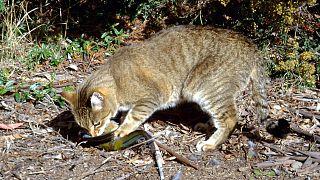 Avustralya'da susuzluk nedeniyle öldürülen develerden sonra vahşi kediler hedefte