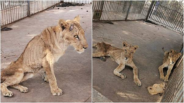 شاهد: في السودان .. أضحى ملك الغابة مجرد حيوان هزيل عاجز والسبب الجوع وقلة الحيلة