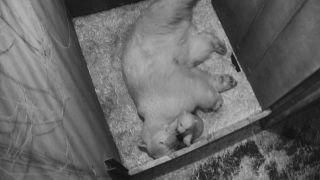 Caricias de oso polar en el Zoológico Schönbrunn de Viena