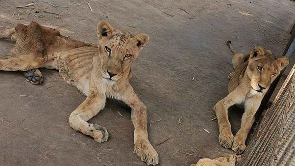 A szó szerint csontig lesoványodott oroszlánok