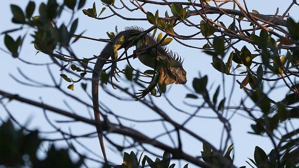 ABD Florida eyaletinde bir iguana