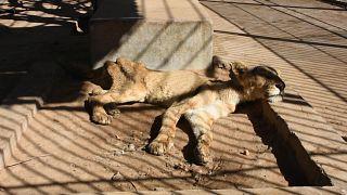 Sudan'ın başkenti Hartum'da hayvanat bahçesindeki aslanlar açlıktan bitkin düştü