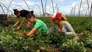 Miles de mujeres marroquíes llegan a España para la temporada de recolección de fresa