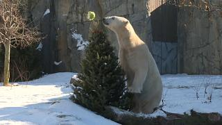 В США питомцы зоопарка играют с новогодними елками