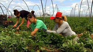 Händeringend gesucht: 6000 Erdbeerpflückerinnen für Spanien