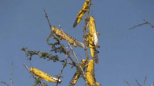 La piaga delle locuste devasta il Corno d'Africa