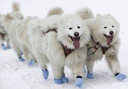Dogs compete during the traditional Sedivackuv Long dog sled race near the village of Destne v Orlickych Horach, Czech Republic, Thursday,  23 January 2020.