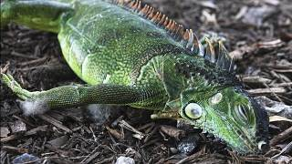A stunned iguana lies in the grass at Cherry Creek Park in Oakland Park, Wednesday, Jan 22, 2020 SOUTH FLORIDA