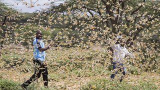 Doğu Afrika'da 'çekirge saldırısı': Herşeyi yok etmeden müdahale edin