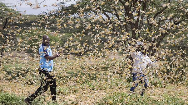 Locust swarms threaten East Africa's food security