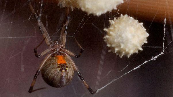 Avustralya'da yangın, toz fırtınası ve sel felaketinin ardından 'ölümcül örümcek' tehdidi
