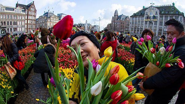В Нидерландах начался сезон тюльпанов