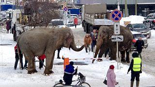 Varios elefantes se escapan de un circo italiano ambulante en Ekaterimburgo.