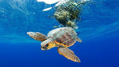 Sea Turtle Trapped