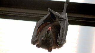 متلازمة الأنف الأبيض تهدد حياة الخفافيش