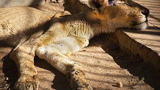 Visszahoztak az életbe két oroszlánt Kartúmban