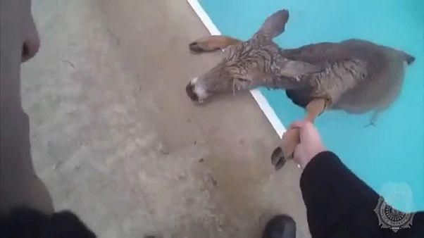 USA: Polizei rettet Hirsch aus Swimmingpool
