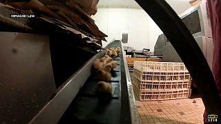 Франция запретит жестокие методы в животноводстве